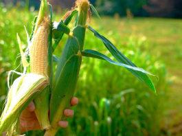 Somos maíz