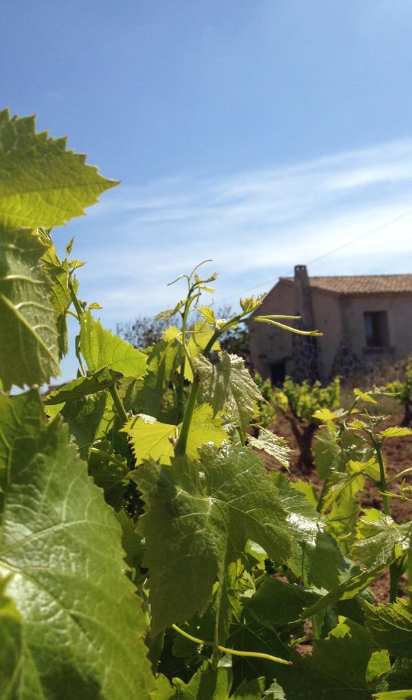 protección para el viñedo local