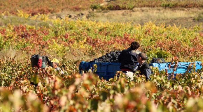Vendimia y enoturismo en la Rioja Alavesa