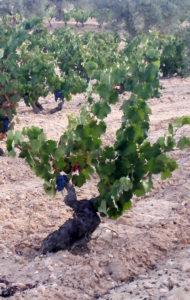 Recuperación de variedades en la DOP Alicante