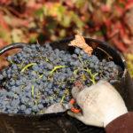 vendimia en Rioja Alavesa